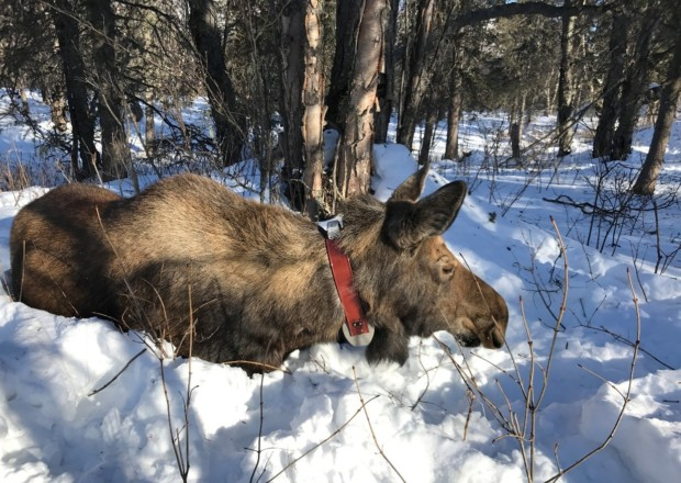 Moose in the Valley